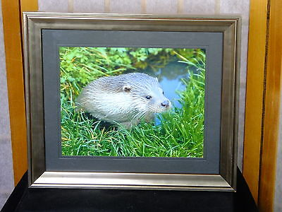 """Eurasion Otter on Cornish River 10 x 8"""" Mounted & Framed Limited Edition"""