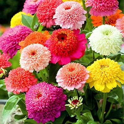 Zinnia- Scabiosa Flowered Mix- 100 Seeds- 50 % off sale