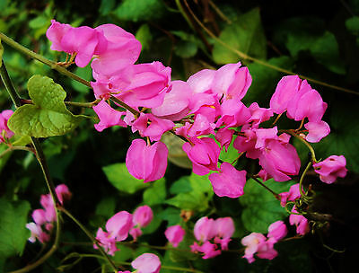 Coral Vine, Chain of Love Seeds Rare Mexican/Delightful Deciduous Winter Dormant