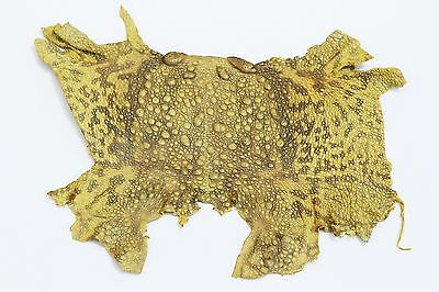 authentic BUFO TOAD FROG SKIN LEATHER Craft Supply Treasure Trove