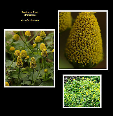 TOOTHACHE PLANT * Acmella oleracea * ELECTRIC DAISY * PARACRESS * SEED