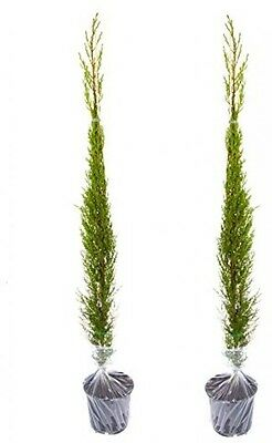 Pair Of Italian Cypress Trees 1.2 -1.4m Tall Potted Plants