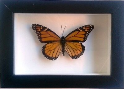 Monarch Butterfly in a Black Frame
