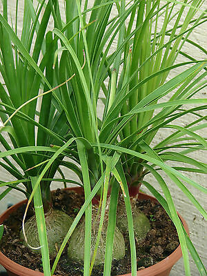 Ponytail palm. Pony Tail. Beaucarnea recurvata 1 plant $3.80