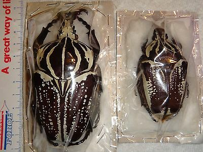 Coleoptera Goliathus conspersus pair Cameroon 93mm MINT Goliath Beetle Insect