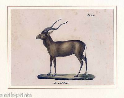 Antilope - Tiere - Lithographie 1835 Zoologie