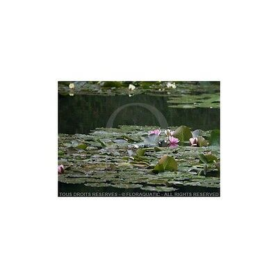 Lot Nymphaea Blanc, Rose, Jaune, Rouge - Plantes de bassins