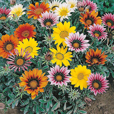 Gazania Talent Mix Seed Low Growing Groundcover Bright Colours