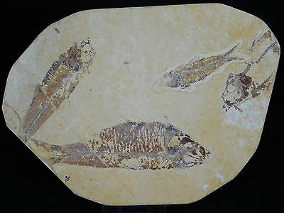 13LF) Multiple Fossil Fish On Display Plate Great Gift Home Decor Wyoming USA
