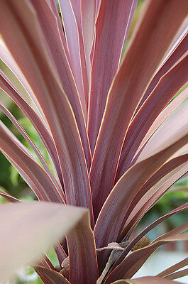 Purple Leaf Cabbage Tree Palm Seed Frost  Hardy Sun/Shade Evergreen Rainforest