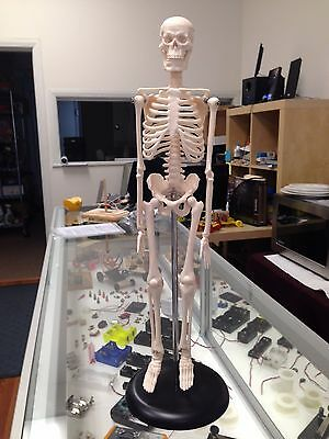 HUMAN SKELETON ANATOMICAL ANATOMY MODEL with STAND