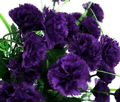 Carnation King of Blacks Seed Good Cut Flower & Vase Life Delightful Scent