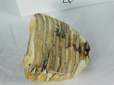 4) Genuine Woolly Mammoth TOOTH Slice Polished Fossil UK - Great Unique Gift