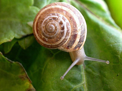 14 SNAILS, Helix Vermiculata, Greek, Alive, Perfect Pets, Free at Nature
