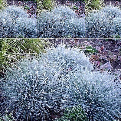 100pcs Ornamental Grass Beautiful Garden New Pop Fescue Decor Perennial Seeds