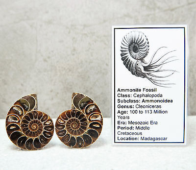 *A+ GRADE* Ammonite Pair Fossil Split Polished Fossilised Slice Dinosaur 35-45mm