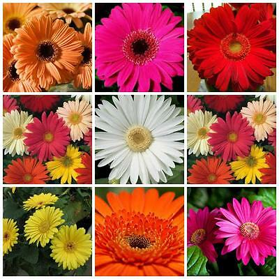 GERBERA jamesonii bright colours Mixed 30 flower seeds great cut flower