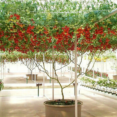 Tomato Giant Italian Tree Tomato 10 Seeds Unusual Heavy Cropping