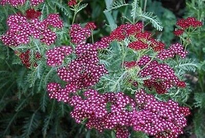 Achillea 'Summerwine' (Sent in 9cm Pot)