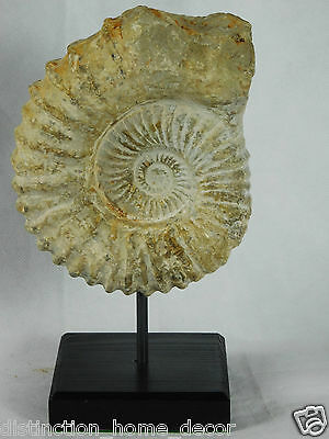 12A) Large Ammonite Jurassic Fossil On Stand Morocco Great Display Gift 6 inch