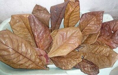 """100 pcs 5-7"""" A++ Catappa Ketapang Indian Almond Leaves for Betta Shrimp discus"""
