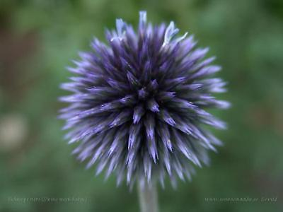 Echinops Ritro Violet Seed Globe Thistle Good Cut Flower Soft Colour
