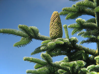 Noble Fir - Abies Nobilis (Procera) - 25 seeds - Christmas Tree - Conifer