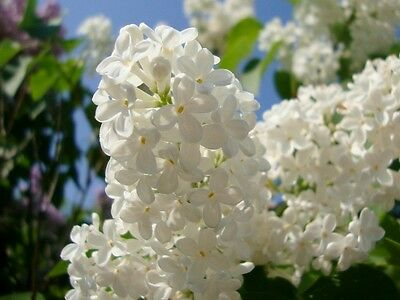 White Flowering Japanese Lilac - Syringa Amurensis Japonica - 25 Seeds - Shrub