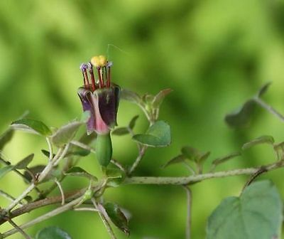 Fuchsia procumbens - Creeping Fuchsia (Sent in a 9cm Pot)