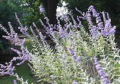 Perovskia 'Blue Spire' Russian Sage (Sent in a 9cm Pot)