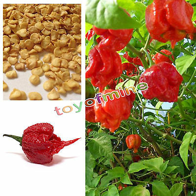 Carolina Reaper Chilli Pepper Seeds X 10 - Super Hot 100% GENUINE