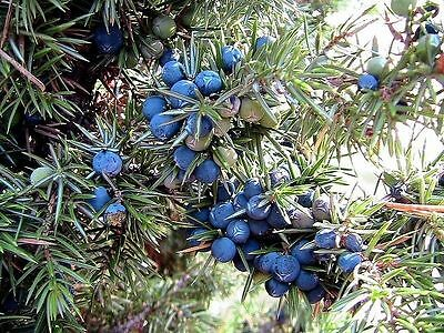 Common Juniper - Juniperus Communis - 25 seeds - Fruiting Shrub - Bonsai