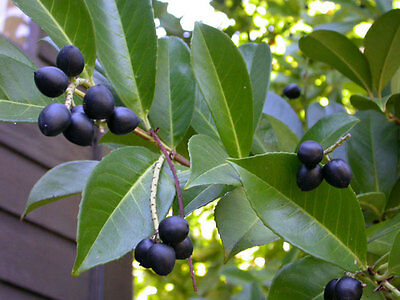 Cherry Laurel - Prunus Laurocerasus - 10 seeds - Shrub - Hedging - Shiny Foliage