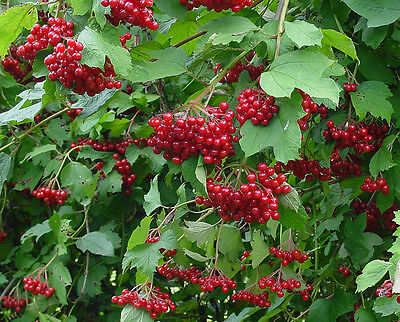 Guelder Rose - Viburnum Opulus - 25 seeds - Shrub - Berries - Hedging