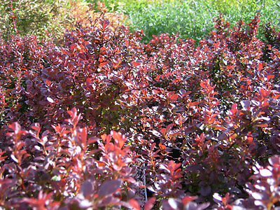Purple Japanese Barberry - Berberis Thunbergii Atropurpurea - 25 seeds -  Shrub