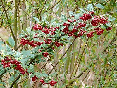 Hollyberry Cotoneaster - Cotoneaster Bullatus - 25 Seeds  Hedging-Shrub-Berries
