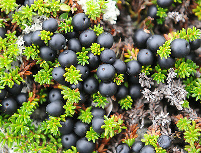 Black Crowberry - Empetrum Nigrum - 25 seeds - Berries - Evergreen Shrub