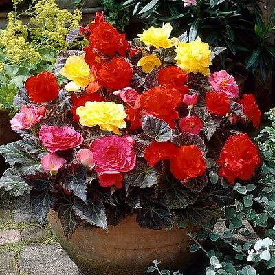 Tuberous Begonia NonStop Mocca Mix Seed 9 Colours Bronze Foliage NEW RELEASE