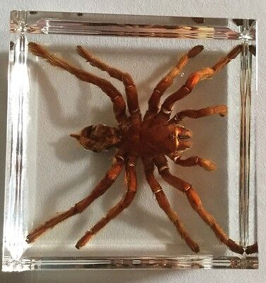 TARANTULA Golden Earth Tiger Spider Insect In Acrylic