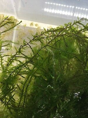 VENTES FLASH PROMO Fontinalis En Coupelle (mousse, Aquarium, Aquascaping)