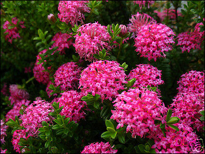 Pink Pimelea Seed Evergreen Seaside, Drought, & Salt Tolerant Long Flowering
