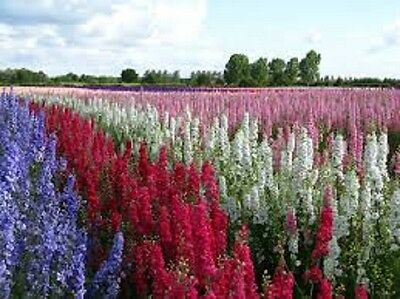 35 delphinium seeds choose your colour