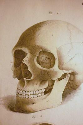 Antique Copperplate:Anatomical Plate iv, The Skull, c.1830