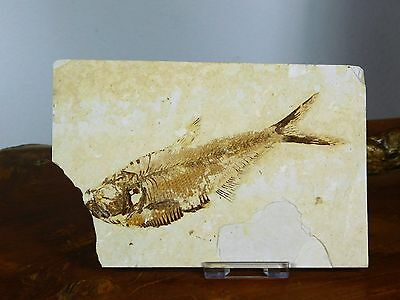 6LF) Large Fossil Fish Display Plate Great Gift Decor Wyoming USA + Free Stand