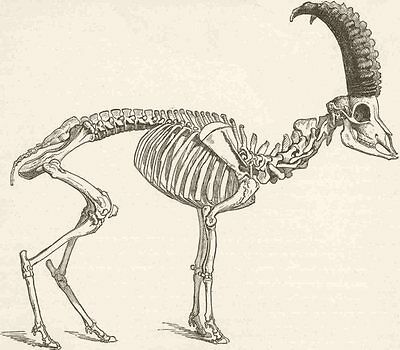 GOATS. Skeleton of the ibex 1894 old antique vintage print picture