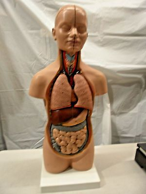 Scientific Anatomical  table top mini TORSO / HEAD MODEL