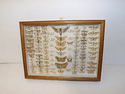 Vintage moth insect collection taxidermy entomology specimen display case