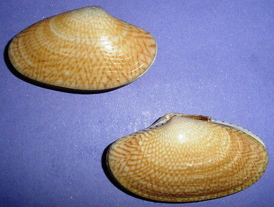 Philippines Sea Shell - VENERIDAE - Paphia undulata - set of 2 -approx. 50mm F++