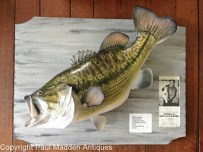 Massachusetts State Record 15lb-8oz Taxidermy Largemouth Bass
