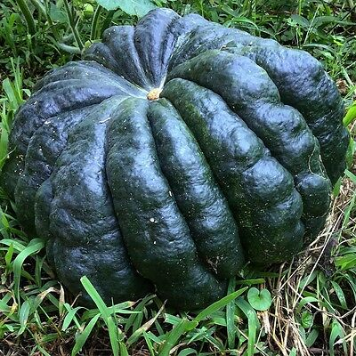 RARE PUMPKIN Seeds x 10~## SWEET BLACK FUTSU ##~Suit small spaces~TESTED
